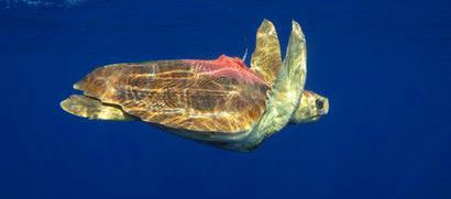 Sea turtles equipped with Argos transmitters