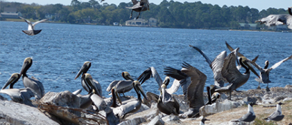 Refugio oil spill: Pelican victims fitted with Argos satellite tags successfully released into the wild !