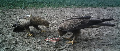 The autumn migration 2015 of Lesser Spotted Eagles has started in September