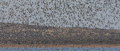 Tracking desert waterbirds: boom-bust nomads in a changing climate