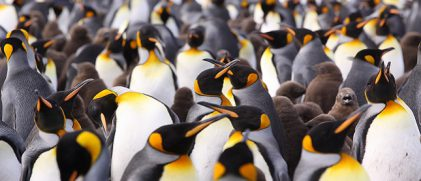 What future for Crozet island's king penguins?