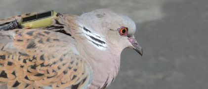 Turtle doves followed by the satellite tracking system Argos