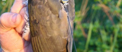Argos sheds light on migration of Cuckoos' from Britain to Africa