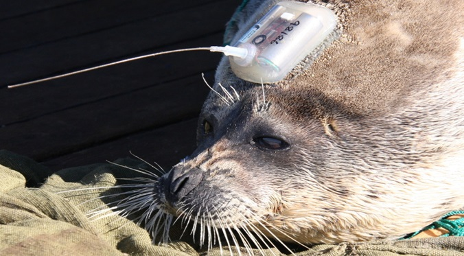 A Caspian seal about to be released after tagging with a Wildlife Computers SPOT tag. Credit: Simon Goodman, University of Leeds