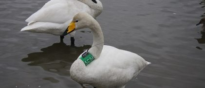 swans with Argos tag