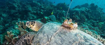 Hawksbill turtle with Argos tag