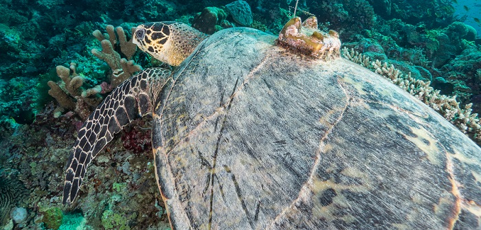 Argos tag on hawksbill turtle