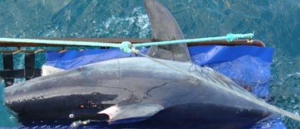 Return to sea of a tagged porbeagle with argos satellite