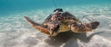 Loggerhead turtle equipped with a satellite tag. Source: Miquel Gomila/SOCIB