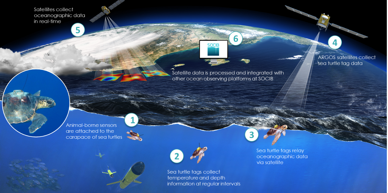 Oceanographic Turtles project. Animal-borne sensors collect information about sea temperature and send the information throughout the Argos System. Source: SOCIB.