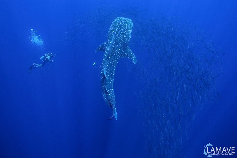 The team tag a whale shark, surrounded by barracuda in Tubbataha Reefs Natural Park (Credits LAMAVE).