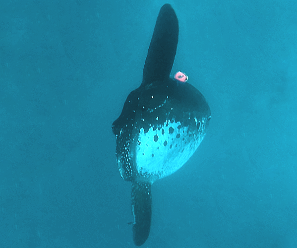 Sunfish with an Argos pop-up archival tag. Credits Tuna and Billfish Tagging Project in Taiwan