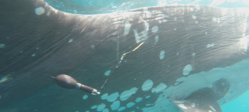 Sunfish tagged with an X-Tag at Eastern Taiwan. Credits Tuna and Billfish Tagging Project in Taiwan