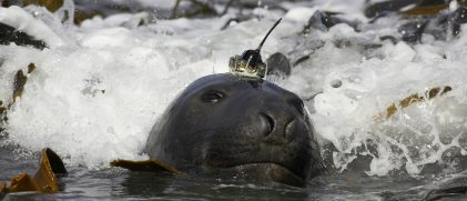 tagged elephant seal christophe guinet