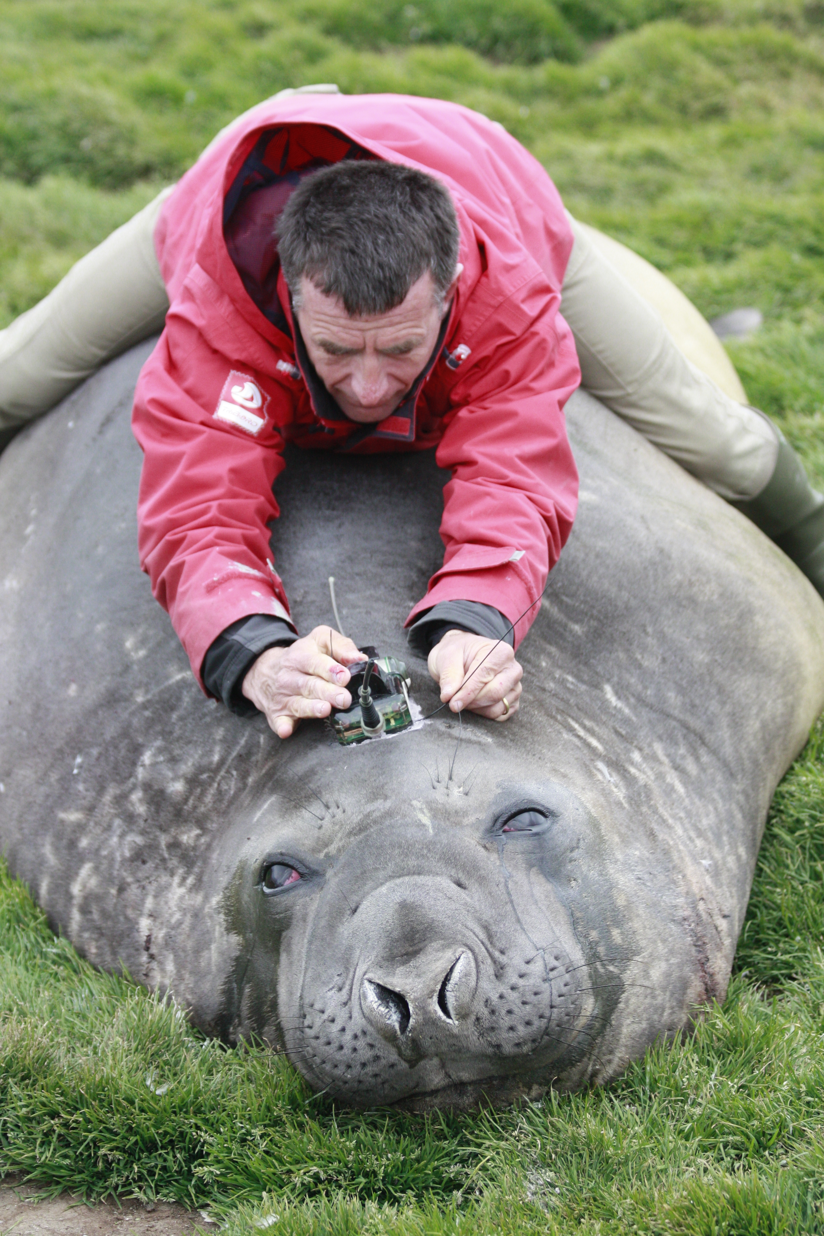 christophe Guinet tagging elephant seal