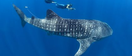 Whale shark with Argos tag (Photo S. Pierce)
