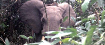 Forest elephant after attachment of PTT (Credits North Carolina Zoo)