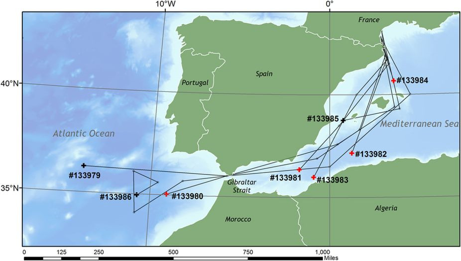 Tracks of the 8 eels tagged in 2013 from the lagoons near Perpignan and out of the Mediterranean in their migration (tracks lasting between 26 and 177 days; pop-up were programmed to detached after 6 months). Their trajectories cannot be determined from daylight measurements since they swim at depth where light does not penetrate. Indirect methods were used to reconstruct the trajectories. Crosses mark the pop-up position of each tag. Black crosses denote the tags that surfaced at the programmed date, while red crosses indicate the pop-up positions of tags attached to eels taken by predators. The map was drawn in Esri ArcMap 10.1, using GEBCO bathymetry (http://www.gebco.net/) and ESRI map (http://www.esri.com/software/arcgis) data. (Credits CEFREM, Perpignan University)