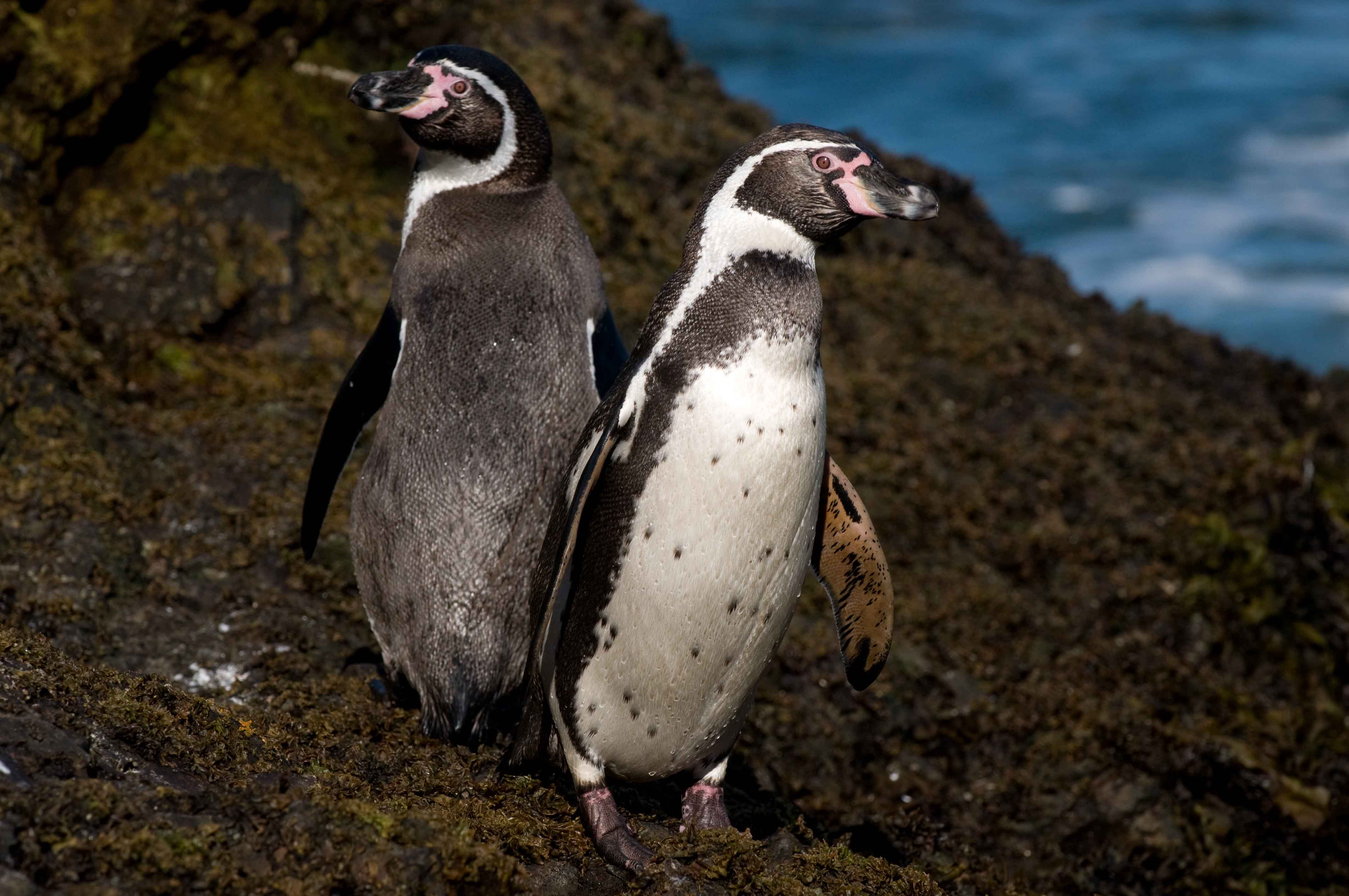 Humboldt penguins (Credits Antarctic Research Trust)