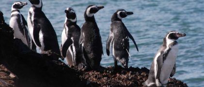 Magellanic penguins, including one with an Argos tag on its back, and one Humboldt penguin (credits Antarctic Research Trust)