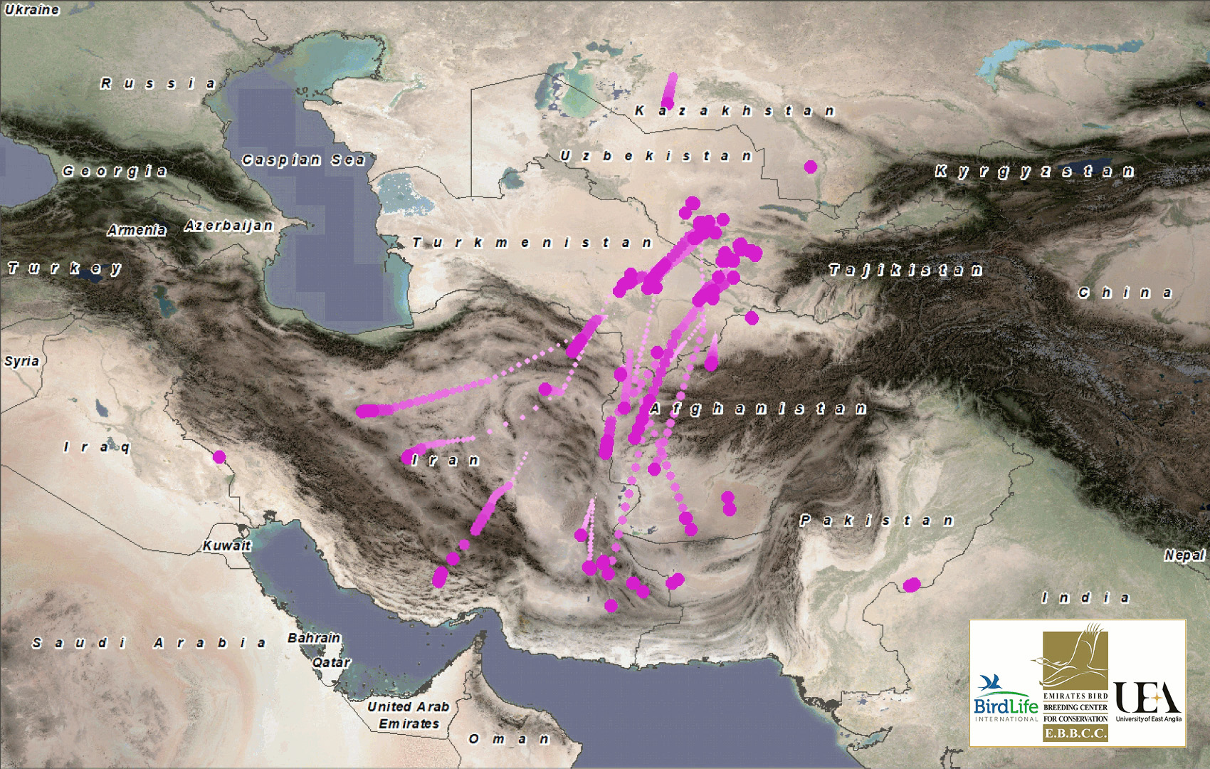 Tracking wild Asian houbara during migration (Credits Daniel Salliss & R. J. Burnside)