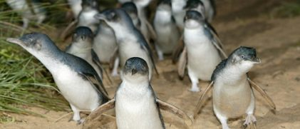 Little penguins. Copyright Philipp Island Nature Parks.