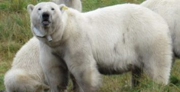 A polar bear fitted with an Argos collar (credits A. N. Severtsov Institute of Ecology and Evolution of the Russian Academy of Sciences)