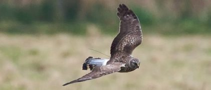 Juvenile male Hen Harrier with an Argos PTT (Credits Les Steele)