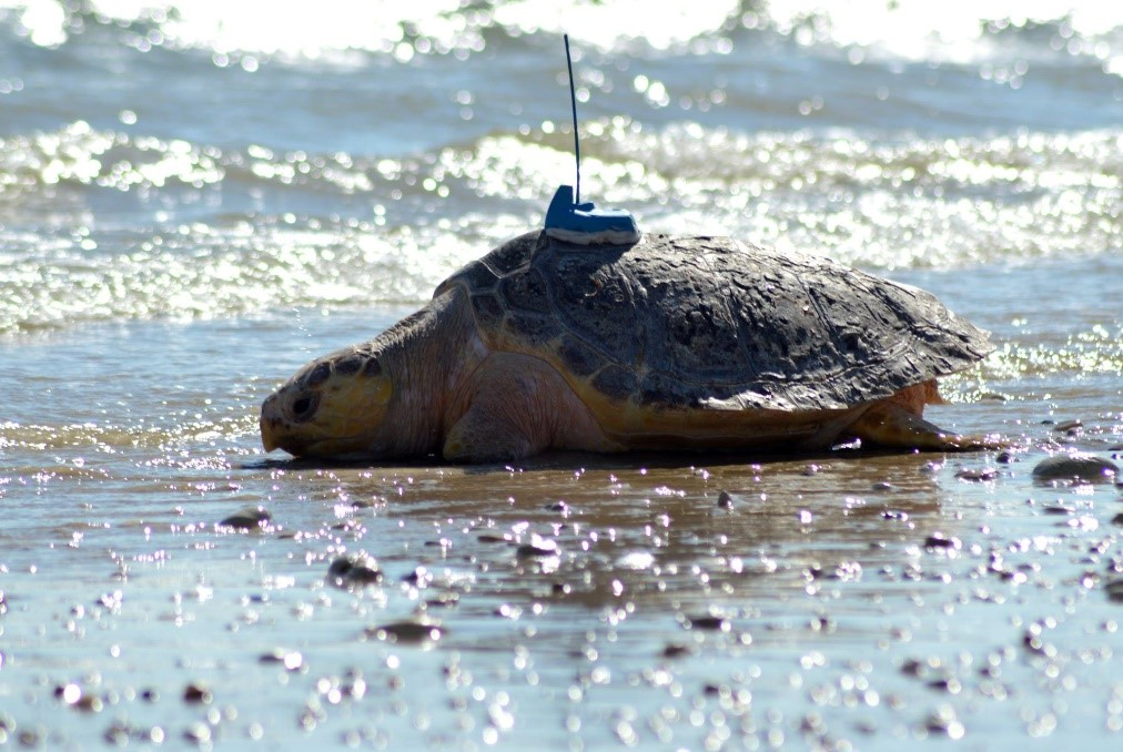 Icare was given an Argos PTT just before he was released to the sea, equipped by the Centre d'Etudes et de Soins pour les Tortues Marines of the Aquarium La Rochelle. (Photo Ré Nature Environnement). This turtle has now been monitored for nearly a year (as of June 16, 2019).
