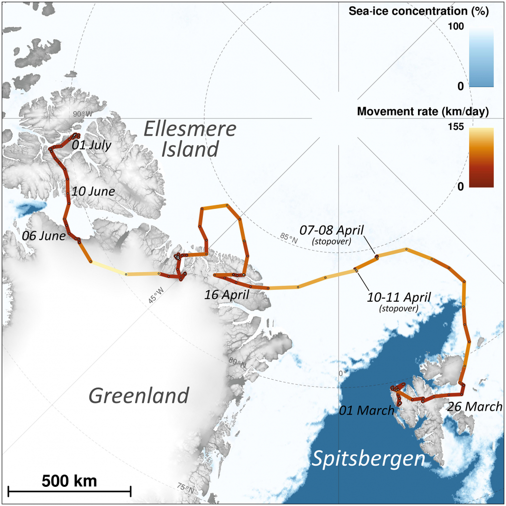 The travel of the young female Arctic fox between 1 March 2018 and ending when she settled on Ellesmere Island, after 4415 km. Color codes her speed, with the two two-day stopovers showed. She went as far north as 84.7°N (Credits A. Tarroux, Norwegian Institute for Nature Research)