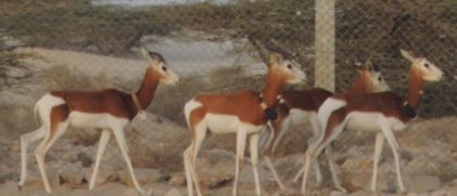 Group of Mhorr gazelle with a GPS collar (credits T. Abáigar)