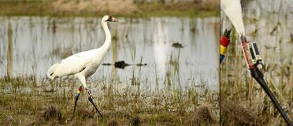 A whooping crane with an Argos PTT on its right leg (Credit Louisiana Department of Wildlife and Fisheries)
