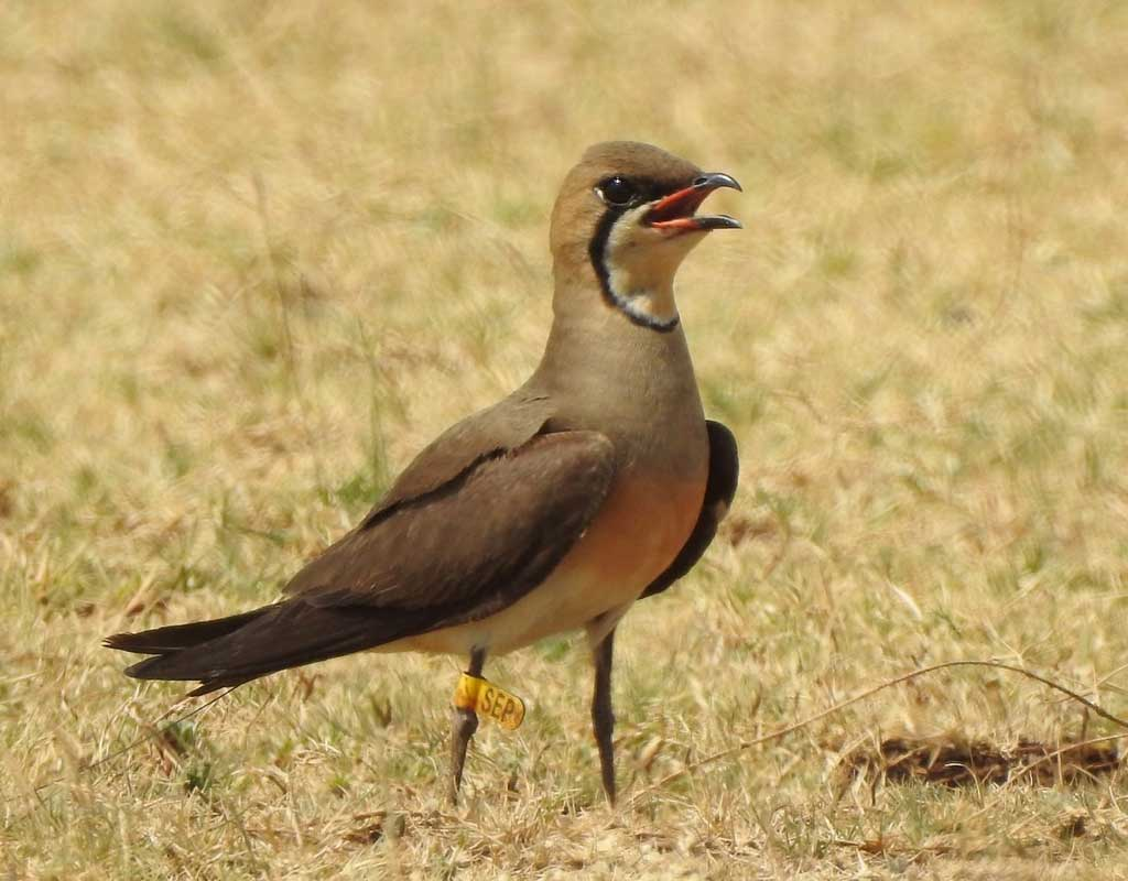 One of the bird tracked, nicknamed 'SEP,' on location in the Bagalkot District of Karnataka, India, on May 13th, 2019. (Photo: Subbu Subramanya)