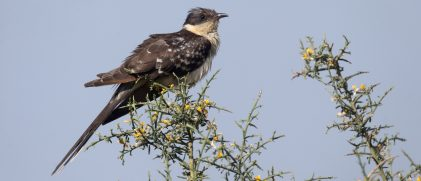 great spotted cuckoo iStock