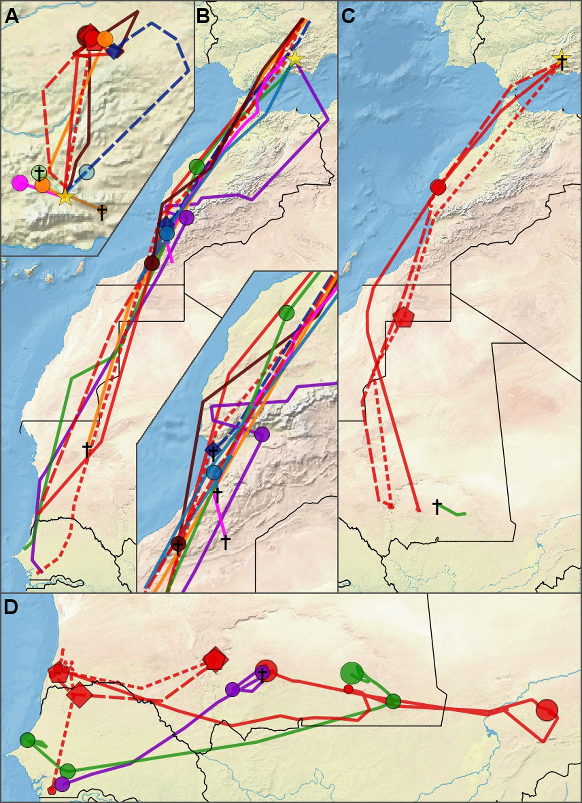 Map of migratory routes of great spotted cuckoos. (A) Pre-migratory movements within Spain. (B) Post-breeding migration (C) Prebreeding migration (D) Wintering area movements. Colors correspond to individual cuckoos, only cuckoos that left the breeding area are included in this map. (Credit University of Groningen)