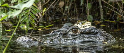 Male black caiman with an Argos satellite transmitter glued to its head (photo S Caut)