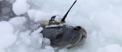photo: A Weddell seal surfacing in a tidal crack with an Argos PTT, a so-called Conductivity-Temperature-Depth Satellite Relay Data Logger (SMRU, UK), attached to fur on the head.(Credit AWI)