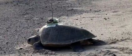 An Olive Ridley turtle with an Argos PTT glued on its back. The glue is made so as to fall off within one year (credit Katsufumi Sato, University of Tokyo)
