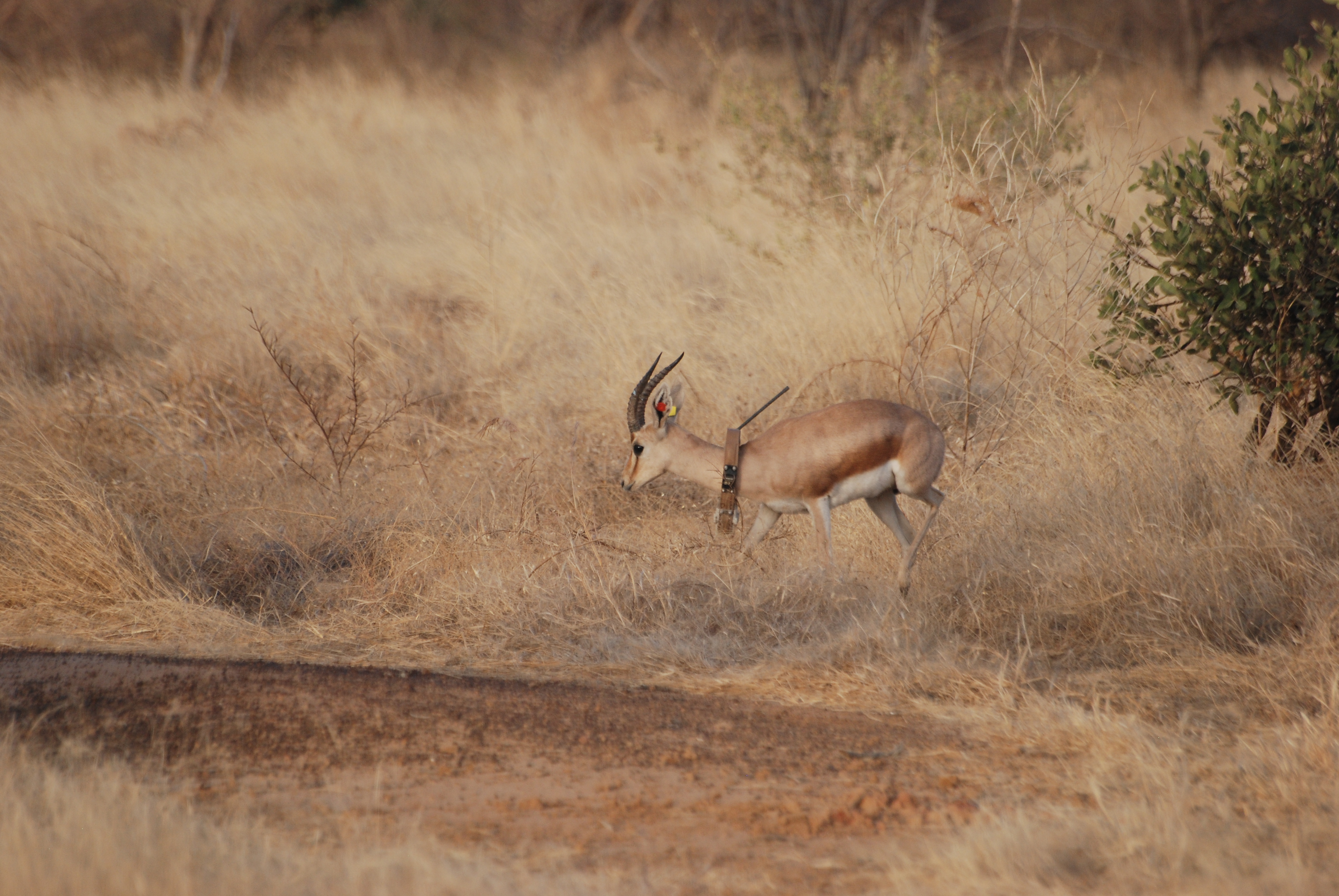 A dorcas gazelle with a GPS-collar recording activities, transmitted by Argos. The collar weights less than 500 g, i.e. 3% of the animal's weight (credit C Enseñat)