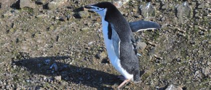 A chinstrap penguin (credit NOAA)