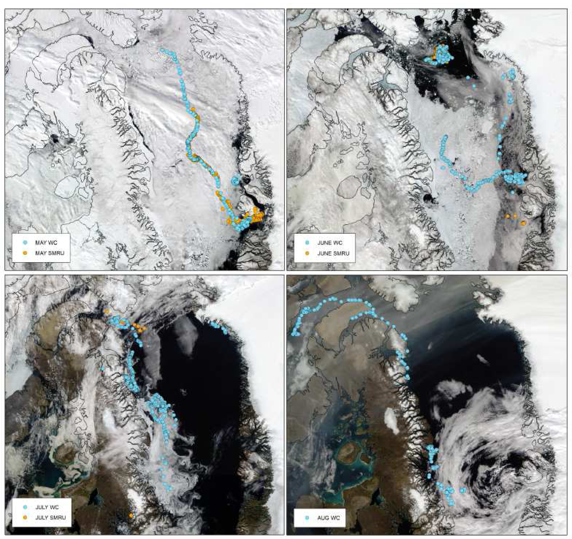 Satellite images showing the sea ice cover in the area of the study and the bowhead whale tracks, month by month from May to August, with the two type of tags attached to the same whale. (Credit [Teilmann et al. 2020])