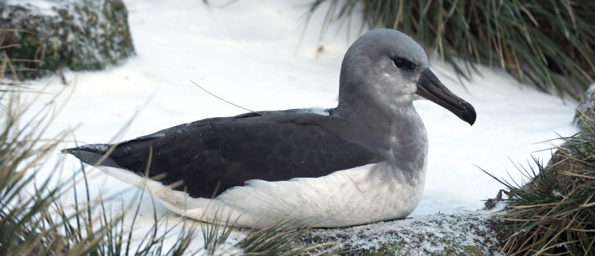 A grey-headed albatross chick with an attached PTT (the aerial can be seen coming from the back of the bird). (credit Derren Fox)