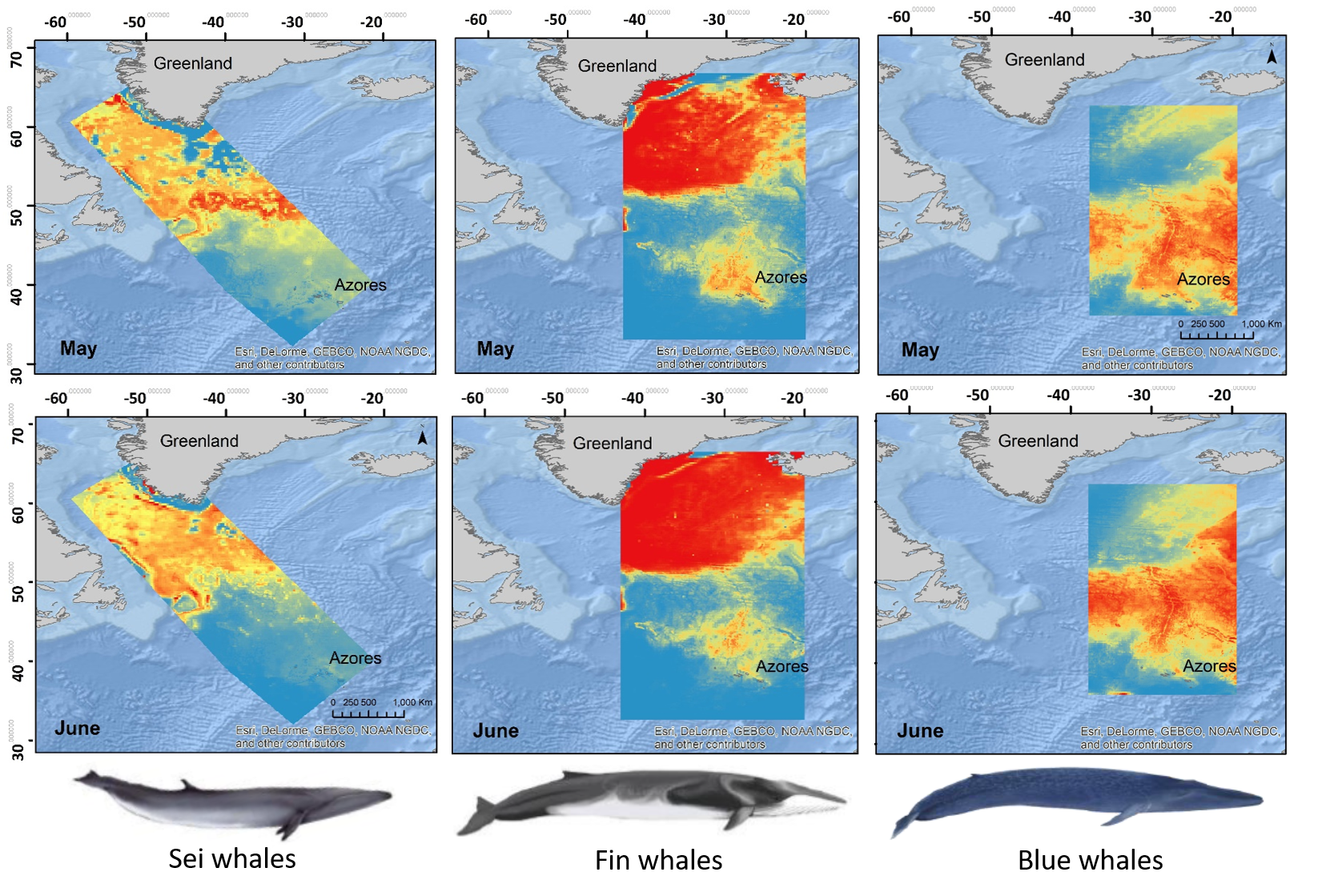 Predicted distribution for Fin, Blue and Sei whales for May and June. The three species behave differently: predicted summer habitats are not totally overlapping, with some constants, such as moving northwards in Summer, and a constrain by depth.
