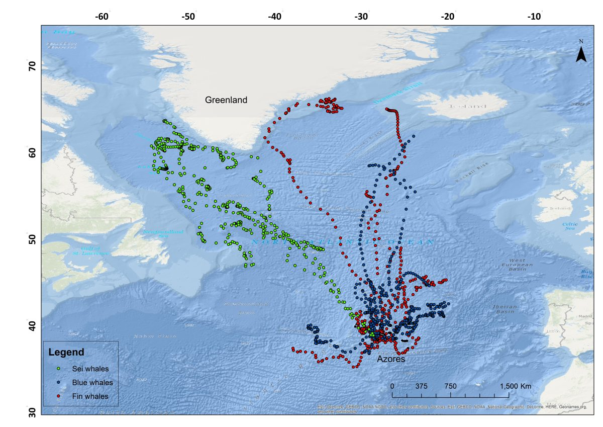 Whale tracks by Argos used in this study (credit AzoresWhaleLab)