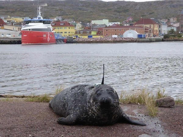 Seal equipped with an ARGOS beacon