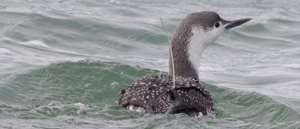 A red-throated diver with an Argos Tag (Credit Claudia Burger)
