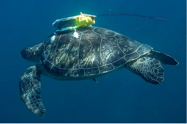 sea turtle equipped with a localisation device