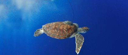 Green turtle with an Argos PTT (credit E. Lancelot)