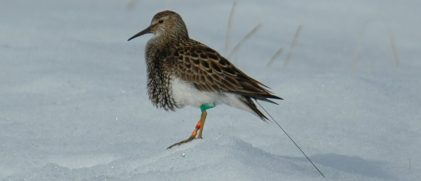 A male pectoral sandpiper with an Argos PTT (credit: Max Planck Institute for Ornithology)