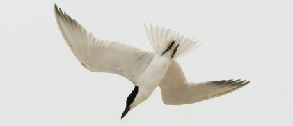 A gull-billed tern diving (© Katharine S. Goodenough)